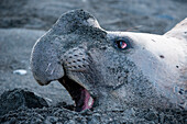 Close-up of a southern elephant seal (Mirounga leonina) on beach, Gold Harbour, South Georgia Island, Antarctica