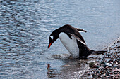 A Gentoo penguin (Pygoscelis papua) checks her makeup, Neko Harbour, Graham Land, Antarctica