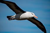 Black-browed albatross (Thalassarche melanophrys) in flight, New Island, Falkland Islands, British Overseas Territory