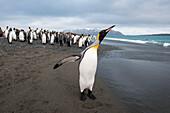 King penguins (Aptenodytes patagonicus) on beach, Salisbury Plain, South Georgia Island, Antarctica