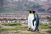 King penguins (Aptenodytes patagonicus), St. Andrews Bay, South Georgia Island, Antarctica