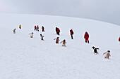 Coming and going: gentoo penguins (Pygoscelis papua) and passengers of expedition cruise ship MS Hanseatic (Hapag-Lloyd Cruises) trek along so-called penguin highways, which have been trampled down by uncounted feet, making it easier to pass over the rece