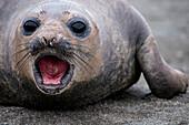 Young southern elephant seal (Mirounga leonina) on beach, St. Andrews Bay, South Georgia Island, Antarctica