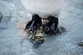 Feet of king penguin (Aptenodytes patagonicus) in stream, St. Andrews Bay, South Georgia Island, Antarctica