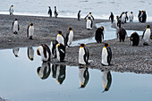 Reflection of king penguins (Aptenodytes patagonicus) in stream, St. Andrews Bay, South Georgia Island, Antarctica