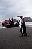 King penguin (Aptenodytes patagonicus) on beach with Zodiac dinghy from expedition cruise ship MS Hanseatic (Hapag-Lloyd Cruises) behind, St. Andrews Bay, South Georgia Island, Antarctica