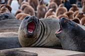 Yawning southern elephant seals (Mirounga leonina) on beach, Gold Harbour, South Georgia Island, Antarctica