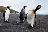 King penguins (Aptenodytes patagonicus) on beach, Gold Harbour, South Georgia Island, Antarctica