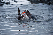 Splashing gentoo penguins (Pygoscelis papua), Aitcho Island, South Shetland Islands, Antarctica