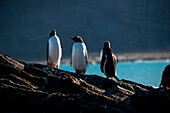 Gentoo penguins (Pygoscelis papua) bask in the sun on a rock just off shore, Gold Harbour, South Georgia Island, Antarctica