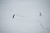I dare you to cross this line: gentoo penguins (Pygoscelis papua) on ice, Laurie Island, South Orkney Islands, Antarctica