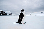Gentoo penguin (Pygoscelis papua) on ice, Laurie Island, South Orkney Islands, Antarctica