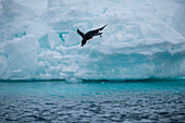 Adélie penguin (Pygoscelis adeliae) jumps from iceberg into water, Weddell Sea, Antarctic Peninsula, Antarctica