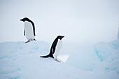 Adélie penguins (Pygoscelis adeliae) on iceberg, Weddell Sea, Antarctic Peninsula, Antarctica