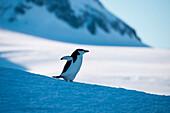 Chinstrap penguin (Pygoscelis antarctica) run across snow, Half Moon Island, South Shetland Islands, Antarctica
