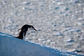 Chinstrap penguin (Pygoscelis antarctica) on hill, Half Moon Island, South Shetland Islands, Antarctica