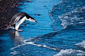 Chinstrap penguin (Pygoscelis antarctica) contemplates entering water, Whalers Bay, Deception Island, South Shetland Islands, Antarctica