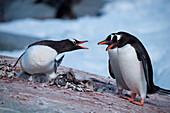 Bickerung gentoo penguins (Pygoscelis papua), Port Lockroy, Wiencke Island, Antarctica