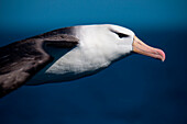 Black-browed albatross (Thalassarche melanophrys) in flight, South Atlantic Ocean, near Falkland Islands, British Overseas Territory
