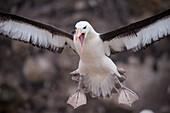 Black-browed albatross (Thalassarche melanophrys) coming in on runway, New Island, Falkland Islands, British Overseas Territory
