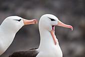 Black-browed albatrosses (Thalassarche melanophrys), New Island, Falkland Islands, British Overseas Territory