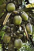 Double coconut (Coco de mer palm), world's largest plant fruit, Royal Botanic Gardens, Peradeniya, near Kandy, Sri Lanka, Asia