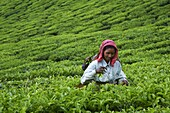 Tamil worker on a tea plantation, Munnar, Kerala, India, Asia