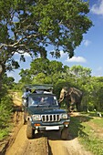 Asiatic tusker elephant (Elephas maximus maximus), close to tourists in jeep, Yala National Park, Sri Lanka, Asia