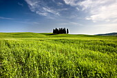 Group of cypress trees on ridge above field of cereal crops, near San Quirico d'Orcia, Tuscany, Italy, Europe