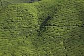 View of BOH Tea Plantation, in Cameron Highlands, Malaysia, Southeast Asia, Asia