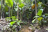 Tropical vegetation on banks of stream in the Vallee de Mai Nature Reserve, UNESCO World Heritage Site, Baie Sainte Anne district, Island of Praslin, Seychelles, Africa