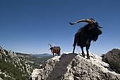 Mountain goats overlooking the Gorges du Verdon, Provence, France, Europe