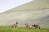 Brown hares (Lepus europaeus), Lower Fairsnape Farm, Bleasdale, Lancashire, England, United Kingdom, Europe