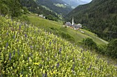 Alpine wild flower meadow, Dolomites, Italy, Europe