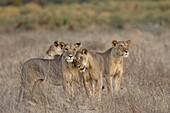 Four lioness (Panthera leo), Samburu National Reserve, Kenya, East Africa, Africa
