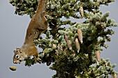 Red squirrel (spruce squirrel) (Tamiasciurus hudsonicus), Denali National Park and Preserve, Alaska, United States of America