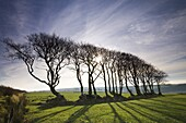 Beech tree hedge in Exmoor National Park,  Devon,  England,  United Kingdom,  Europe