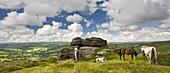 Dartmoor ponies grazing near Chinkwell Tor,  Dartmoor National Park,  Devon,  England,  United Kingdom,  Europe