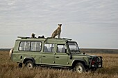 Cheetah (Acinonyx jubatus) on Land Rover safari vehicle, Masai Mara National Reserve, Kenya, East Africa, Africa