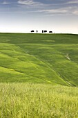 Trees on ridge above field of cereal crops, near San Quirico d'Orcia, Tuscany, Italy, Europe