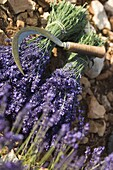 Lavender Knife, Luberon, France