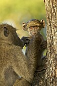 Infant chacma baboon (Papio ursinus) being groomed, Kruger National Park, South Africa, Africa