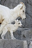 Dall sheep (Ovis dalli) mother and two-day-old lamb in captivity, Denver Zoo, Denver, Colorado, United States of America, North America