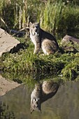 Lynx (Lynx canadensis) reflected sitting at waters edge, in captivity, Minnesota Wildlife Connection, Minnesota, United States of America, North America
