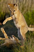 Two swift fox (Vulpes velox) kits playing, Pawnee National Grassland, Colorado, United States of America, North America