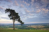 Pine tree on Raddon Hill, looking over agricultural countryside, Mid Devon, England, United Kingdom, Europe