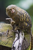 Pygmy marmoset (Cebuella pygmaea) in the trees, controlled conditions, United Kingdom, Europe