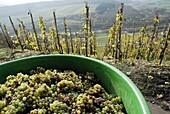 Grape harvest, Saar Valley near Saarburg, Rhineland-Palatinate, Germany, Europe