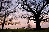 Tree silhouettes on Backley Plain, New Forest National Park, Hampshire, England, United Kingdom, Europe