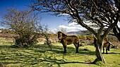 Exmoor ponies graze on Porlock Hill, Exmoor National Park, Somerset, England, United Kingdom, Europe